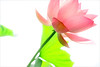 Pink Lotus Flower - IMG_5051-1-1000 (Bahman Farzad) Tags: pink flower macro yoga peace lotus relaxing peaceful meditation therapy lotusflower lotuspetal lotuspetals lotusflowerpetals lotusflowerpetal