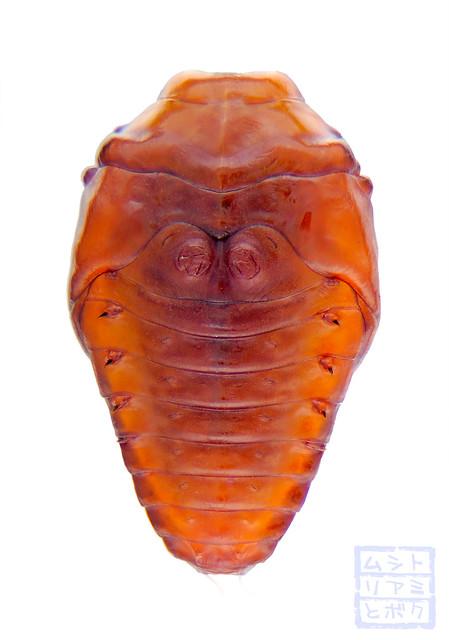 Trachys auricollis (Pupa)
