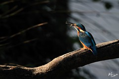 04 Martin-pcheur d'Europe - Alcedo atthis (Domaine Des Oiseaux, 09) (bobatoul) Tags: des midi oiseaux domaine arnaud arige commonkingfisher alcedoatthis pyrenes mazeres coraciiformes cosset martinpcheurdeurope alcdinids arnaudcosset
