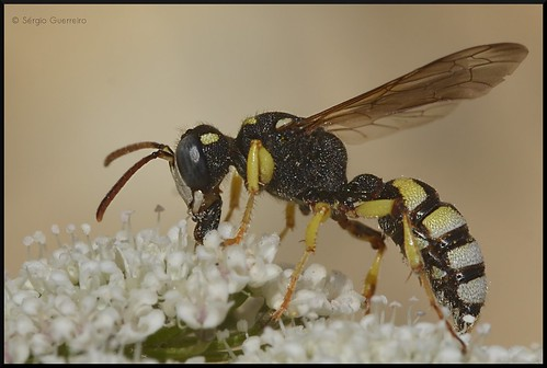 Vespa-do-papel / European paper wasp / (Polistes dominulus) by Sérgio Guerreiro