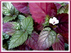 Beautiful variegated foliage: Hemigraphis alternata (Red Flame Ivy, Red Ivy, Cemetary Plant, Metal-leaf, Purple Waffle Plant)