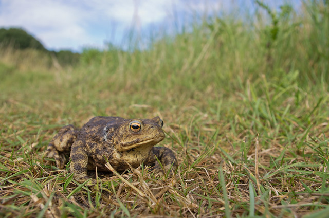 common toad wide angle
