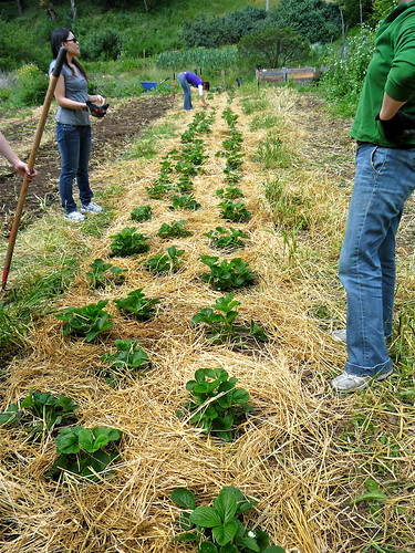 """Mulched strawberry beds • <a style=""""font-size:0.8em;"""" href=""""http://www.flickr.com/photos/63818521@N02/6100731814/"""" target=""""_blank"""">View on Flickr</a>"""