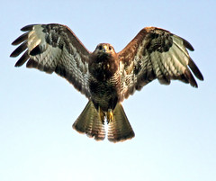 Thank Buzzard It's Friday! (Ger Bosma) Tags: bird dutch flying wings european wildlife flight extremecloseup birdsinflight buzzard soaring buteobuteo bif birdinflight buizerd wow1 buse flyingbird musebussard ratonerocomn closeupdetail busevariable busardoratonero extremedetail doublyniceshot poianacomune doubleniceshot tripleniceshot mygearandme mygearandmepremium mygearandmebronze mygearandmesilver mygearandmegold mygearandmeplatinum mygearandmediamond exitfbsga aguilaratonero flickrstruereflection1 flickrstruereflection2 flickrstruereflection3 flickrstruereflection4 img162731n