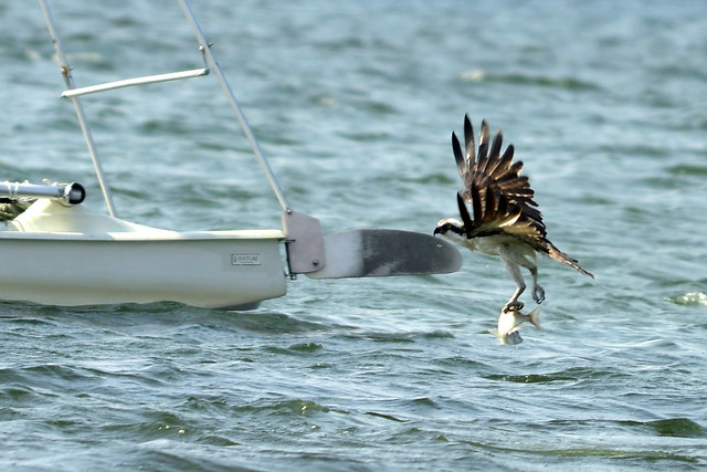 osprey catching fish two