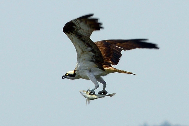 osprey catching fish five