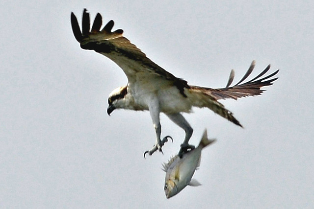 osprey catching fish three
