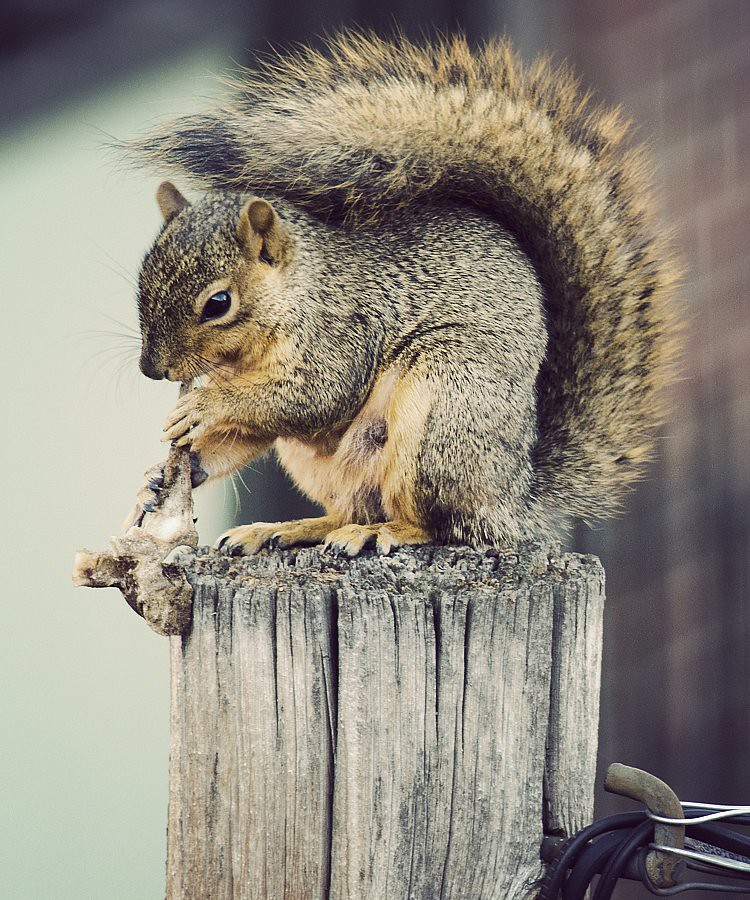 squirrel bone