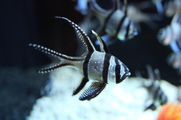 Stripe.Fish