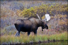 Moose -animal - Wildlife - Alaska (blmiers2) Tags: travel autumn orange brown green fall nature beautiful animal animals yellow alaska nikon wildlife moose antlers denali d3100 blm18 blmiers2