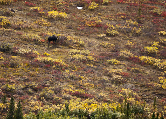Bull moose likes the fall foliage