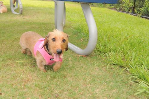 orlando dachshund meetup 031