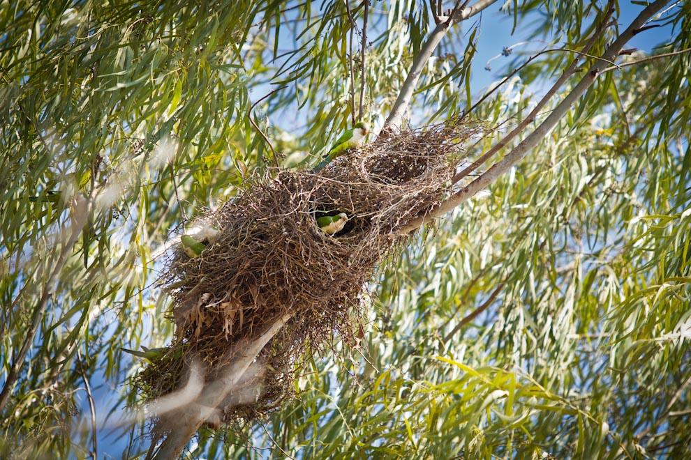 Muchas cotorras construyen y mantienen de manera comunitaria, nidos que pueden llegar a ser bastante grandes, utilizando ramitas de plantas espinosas entretejidas y compartiendo el mismo entre un buen número de parejas. (Tetsu Espósito)
