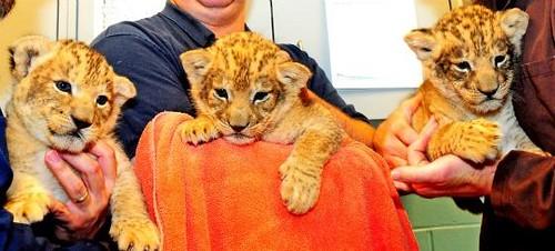 Milwaukee Zoo Lion Cubs