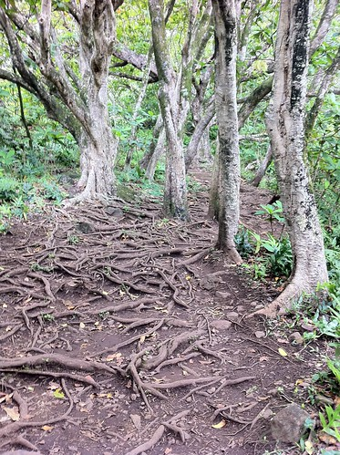 Roots on the pipiwai trail