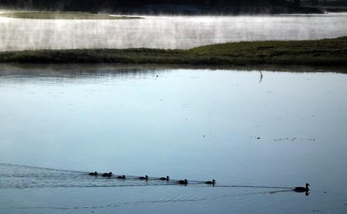 eenden in Yellowstone River