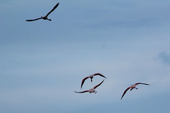 Camargue 1 09.11 122 (MUMU.09) Tags: bird rose photo foto flamingo aves ave bild fugl oiseau flaming flamenco  vogel imagem  uccello  ku chim ptak fgel   flamant     fenicottero  madr    an      plamek  hng      tkklistar  hac