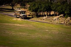 Rush Hour on the Savanah (tltichy) Tags: africa truck canon orlando tour florida disney safari giraffe wdw waltdisneyworld themepark animalkingdom 2470f28l 5dmarkii 5dm2 wildafricatrek