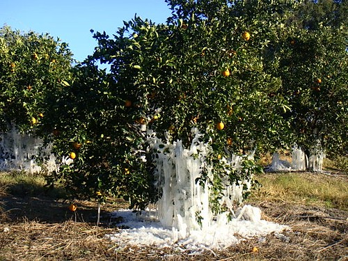 frozen-oranges