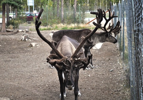 Reindeer at Santa Claus House, North Pole, Alaska