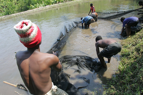 Harvesting a fish pond. Photo by Stevie Mann, 2007.