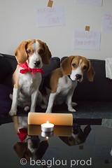 happy birthday Fleche (beaglou prod) Tags: dog chien beagle puppy chiot elka fleche 550d beaglou beaglouprod delaroséedesgatines