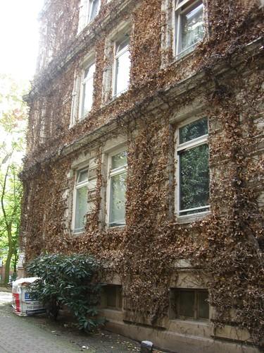 Fassade mit totem Efeu