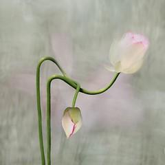 (1) Tags: flower love lotus elegant pure