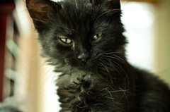 foster kitty (messycupcakes) Tags: pet pets love home animal animals cat fur furry kitten colorado kitty kittens boulder cutie louisville paws society adopt humane adoptable fosterkitten boulderhumanesociety