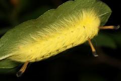 Spotted Apatelodes Moth Caterpillar (Rick379) Tags: hairy yellow bug nc moth insects caterpillar spotted apatelodes torrefacta taxonomy:binomial=apatelodestorrefacta