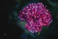 Erinnerung an den Sommer - gefllter Mohn (Frau_Doktor) Tags: flowers flower texture flora fineart natur pflanzen blumen digiart makro nahaufnahme farben blten texturen textur fotoart fotokunst fotobearbeitung nikond80 texturiert digitalphotoart digitalebearbeitung fraudr