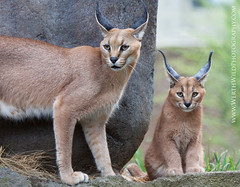 Caracal Mom and Kitten (ArmanWerthPhotography) Tags: cat portland mom kitten bigcat caracal oregonzoo