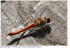 2011_09_15_3221 (magsnorton) Tags: red male dragonfly f90 aperturepriority commondarter ef100mmf28macrousm sympetrumstriolatum 1100sec focallength100mm canoneos60d copyright2011johnnorton spaponds