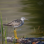 The Poser,  A Lesser Yellowlegs Looking Great thumbnail