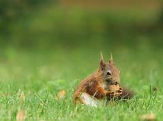 Squirrelo.. (ZiZLoSs) Tags: vienna green canon eos austria squirrel focus 7d usm aziz abdulaziz عبدالعزيز عزيز f56l zizloss المنيع ef400mm 3aziz almanie