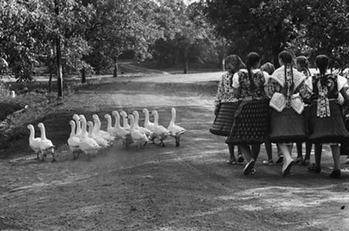 Elliott Erwitt, Hungary, (Gaggle of Geese, Group of Girls), 1964
