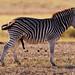 Unphotoshopped Burchell's zebra