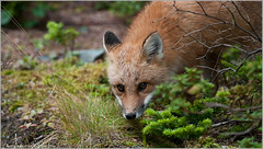 Newfoundland Red Fox (Raymond J Barlow) Tags: canada animal newfoundland nikon wildlife fox redfox d300 200400vr