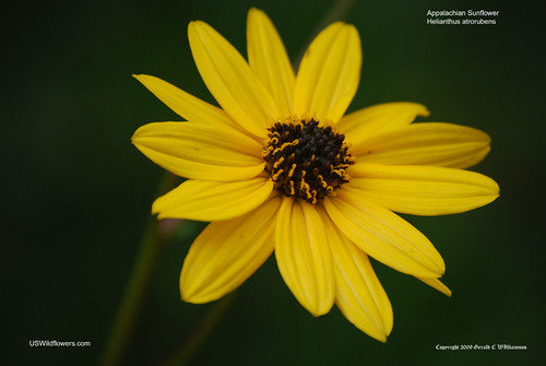 Purpledisk sunflower, Appalachian sunflower - Helianthus atrorubens