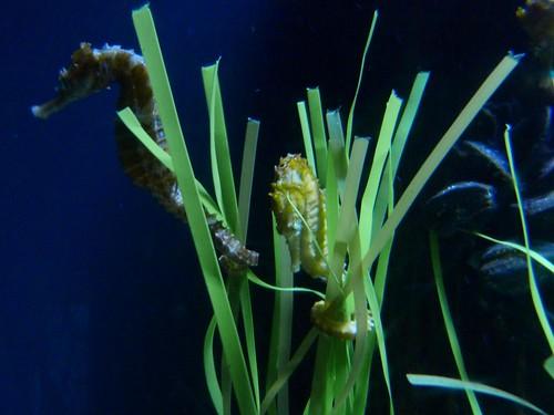 seahorse tank