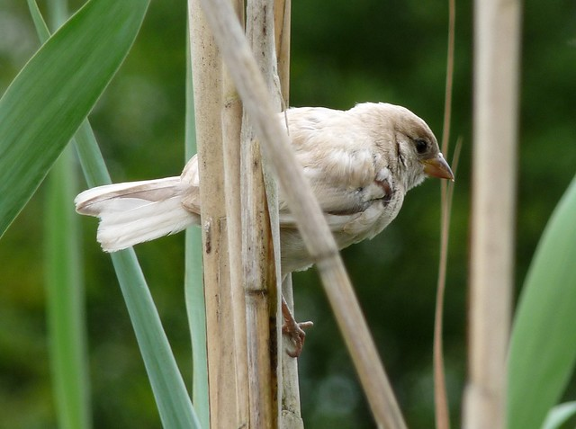 24780 - Leucistic House Sparrow, Llangorse Lake