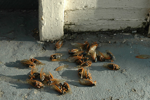 cicadas in the doorway