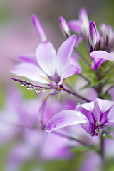 Sweet summer drops (Jacky Parker Floral Art) Tags: uk portrait flower macro nature wet rain vertical closeup drops flora purple lilac dew bloom orientation cleome