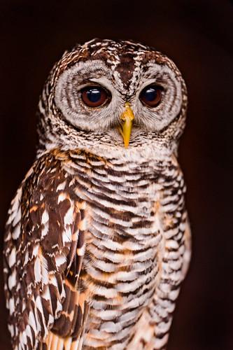 フリー写真素材, 動物, 鳥類, フクロウ, アカアシモリフクロウ,