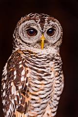 [フリー画像] 動物, 鳥類, フクロウ, アカアシモリフクロウ, 201108201100