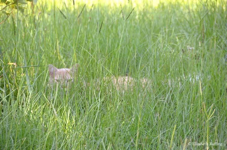Santana the Peeping Tom Cat in the grass