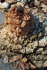 What colour were you? (Chris Gusen) Tags: plant lace decay decomposition frilly leached