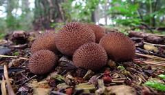 spiky puffballs (ghisan) Tags: brown spiky fungi sphere puffball puffballs jgblp roundtoadstool roundfungi
