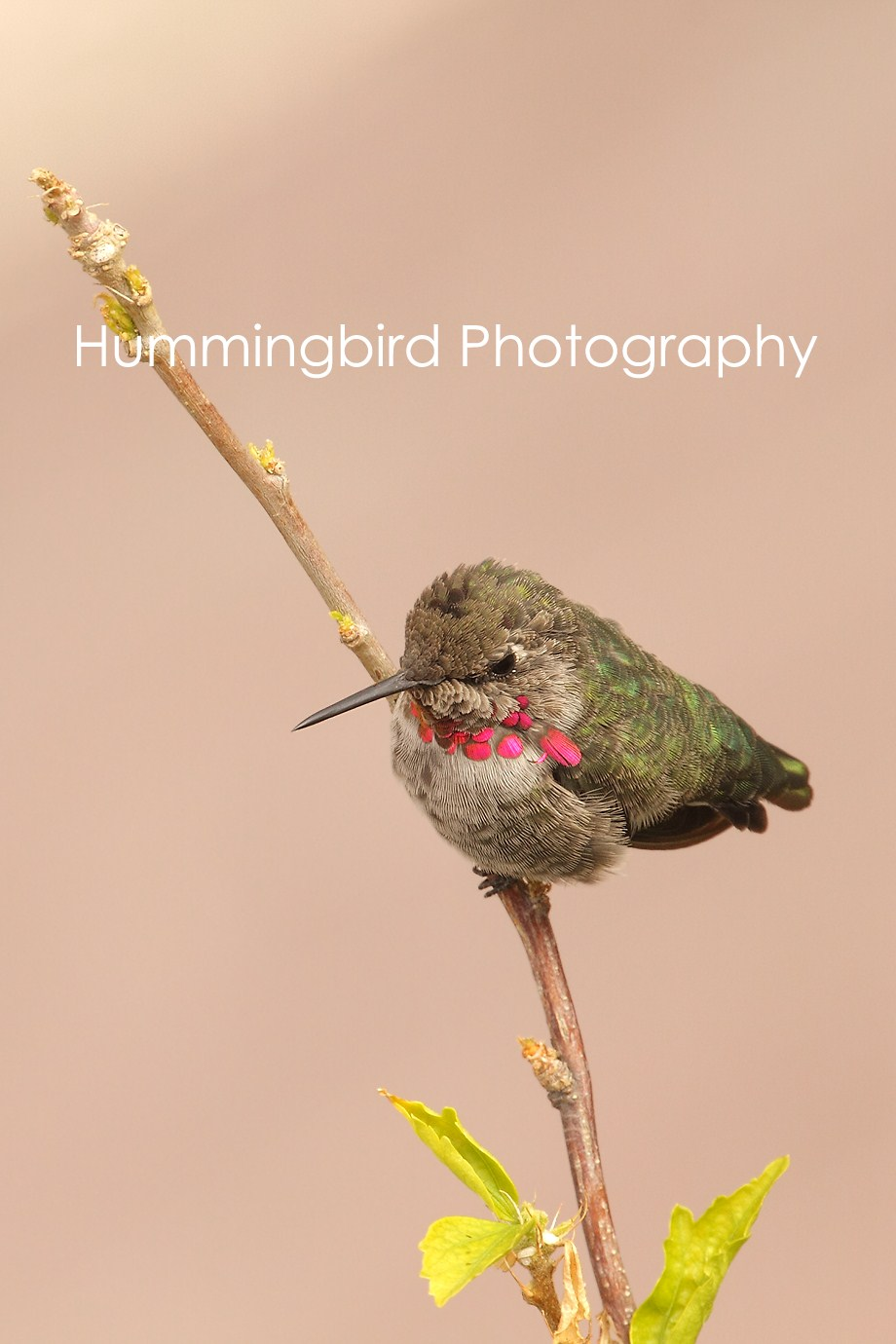Anna's Hummingbird 082311-3