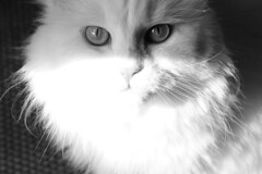 It's in the eyes (mauzlover) Tags: portrait bw pet cats pets sun white animal animals cat emily eyes chat longhair kitty cologne gato stare katze augen katzen whitecat perser weis emilly schwarzweis kissablekat bestofcats kittyschoice catmoments langhaarkatze mauzlover 5boc